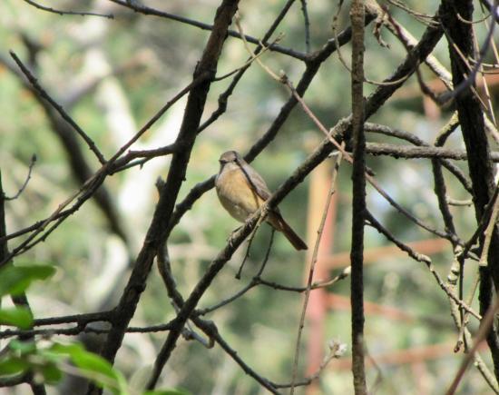 Rouge-queue à front blanc femelle