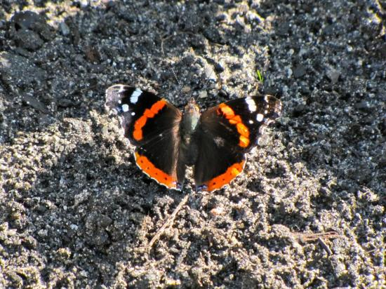 papillon- le vulcain