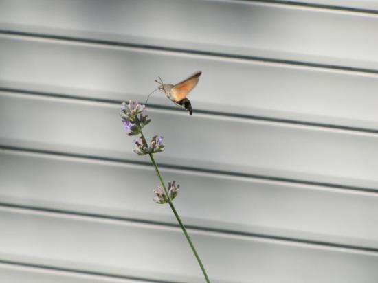 Papillon-Moro-sphinx