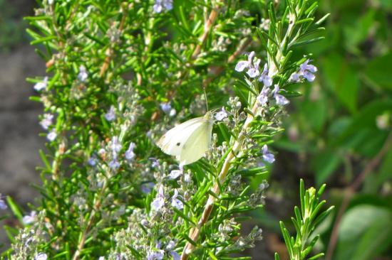 Papillon- piéride du chou